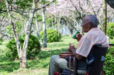 Homem cadeirante bebendo refri e observando as flores no festival da Cerejeiras que acontece todos os anos no Parque do Carmo em São Paulo